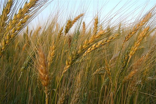 On The Wheat And Tares Classical Christianity